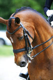 Head shot of a purebred dressage horse outdoors Royalty Free Stock Photography