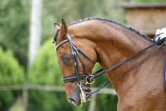 Head shot of a purebred dressage horse outdoors Royalty Free Stock Image