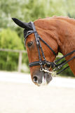 Head shot of a purebred dressage horse outdoors Royalty Free Stock Photos