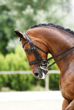 Head shot of a purebred dressage horse outdoors Royalty Free Stock Images