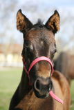 Head shot of a purebred foal Royalty Free Stock Photography