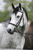 Head shot of a purebred gray horse rural scene Royalty Free Stock Photos