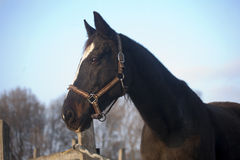 Head shot of a purebred saddle horse looking over corral fence Royalty Free Stock Photos