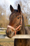 Head shot of a purebred saddle horse looking over corral fence Royalty Free Stock Photo