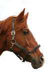 Head shot of a purebred thoroughbred young horse Royalty Free Stock Photo
