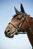 Head shot of a racehorse on blue sky background Royalty Free Stock Photo