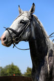 Head shot of a racehorse during dressage test Stock Photography
