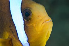 Head-shot of a Red Sea anemonefish. Stock Photos