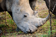 Head shot of a rhino Royalty Free Stock Image