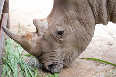 Head shot of Rino eating grass Royalty Free Stock Images