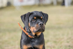 Head shot of Rottweiler. Selective focus on the dog Stock Photos