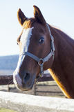 Head shot of a saddle horse at corral fance Royalty Free Stock Images