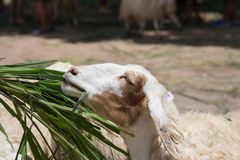 Head shot of sheep eating food Stock Images
