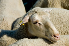 Head shot of a sheep in a herd.  Royalty Free Stock Image