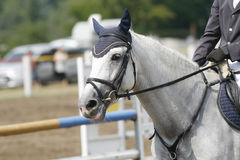 Head-shot of a show jumper horse during competition Royalty Free Stock Photo