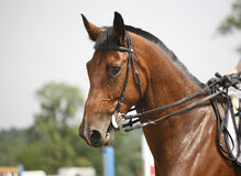 Head-shot of a show jumper horse during competition with jockey Stock Image
