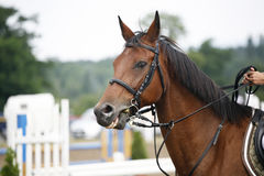 Head-shot of a show jumper horse during competition with jockey Stock Photography