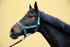 Head shot of a show jumper horse Royalty Free Stock Image