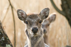 A head shot of a Sika deer Cervus nippon walking through a reed bed. Stock Photo