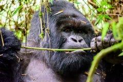 Silverback mountain gorilla munching in the forest. Head shot of a Silverback mountain gorilla munching in the forest stock photography