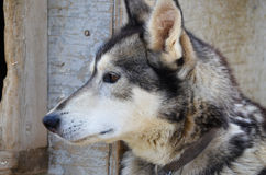 Head Shot of a Sled Dog Royalty Free Stock Photo