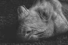 Head shot of a sleeping rhino, Stock Photo