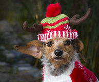 Head Shot Small Mixed Breed Dog Wearing Reindeer Hat Stock Photo