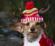 Head Shot Small Mixed Breed Dog Wearing Reindeer Hat. An adorable head shot of a small Mixed Breed Dog wearing a reindeer hat. Dog is looking directly into the Stock Photo