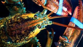 Head shot of Spiny Lobster Panulirus ornatus in aquaria stock photo