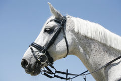 Head shot of a sportive racing horse Stock Image