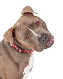 Head Shot Of Staffordshire Bull Terrier Dog Looking Curious Royalty Free Stock Photos