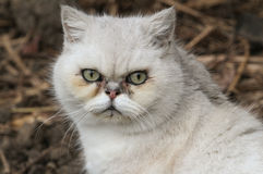 A head shot of a stunning Cat, Felis catus. Stock Image