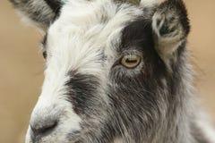 A head shot of a stunning Goat Capra aegagrus hircus. Head shot of a stunning Goat Capra aegagrus hircus Royalty Free Stock Photo