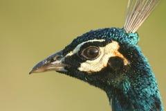 A head shot of a beautiful male Peacock, Pavo cristatus. A head shot of a stunning male Peacock, Pavo cristatus stock image