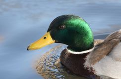 A Head shot of  a stunning Mallard Duck Anas platyrhynchos swimming in a river. Head shot of  a stunning Mallard Duck Anas platyrhynchos swimming in a river Royalty Free Stock Photo