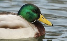 A head shot of  a stunning Mallard Duck Anas platyrhynchos swimming in a river. Head shot of  a stunning Mallard Duck Anas platyrhynchos swimming in a river Royalty Free Stock Photography