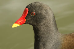 A head shot of a stunning Moorhen, Gallinula chloropus. Stock Images