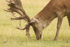 A head shot of a stunning stag Red Deer Cervus elaphus feeding on grass in a meadow. You can see the velvet on the blooded antle. A head shot of a stag Red Deer royalty free stock image