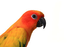 Head Shot of A Sun Conure Bird Stock Image