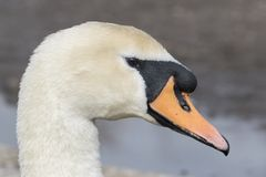 A head shot of a swan at the Cemetery Lake, Southampton Common. A head shot of a mute swan beside the Cemetery Lake, Southampton Common, Hampshire, UK stock photos