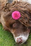 A head shot of a cute English Springer Spaniel Dog Canis lupus familiaris resting on the grass with a Dahlia flower on its ear. A head shot of a sweet English stock photo
