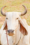 Head shot of thai cow Stock Images