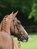 Thoroughbred Head Shot Stock Image