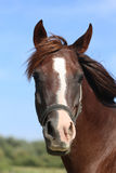 Head shot of a thoroughbred horse summer pasture Royalty Free Stock Photo