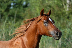 Head shot of a thoroughbred young stallion on summer meadow. Side view portrait of a galloping young arabian  stallion on pasture Stock Photos