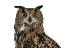 Head shot of Turkmenian Eagle owl / bubo bubo turcomanus s isolated on white background looking in lens