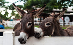 Head shot of two donkeys  Stock Photo