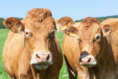 Head shot of two friendly Limouisn beef cows in a lush summer pa Royalty Free Stock Image