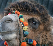 Head shot of two hump Camel in UK used as show animal. Head shot of two hump Camel in UK used as show animal at Christmas event Royalty Free Stock Photography