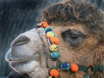 Head shot of two hump Camel in UK used as show animal. Head shot of two hump Camel in UK used as show animal at Christmas event Royalty Free Stock Photos